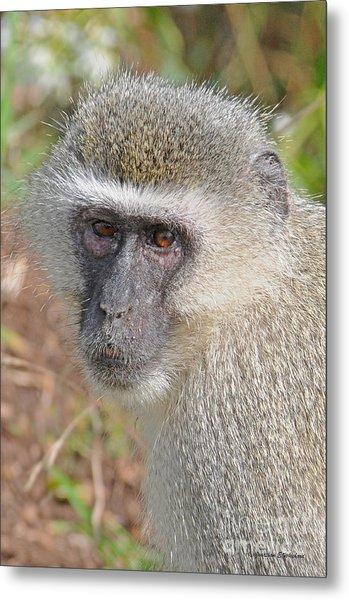 Vervet Monkey Metal Print by Jonathan Whichard