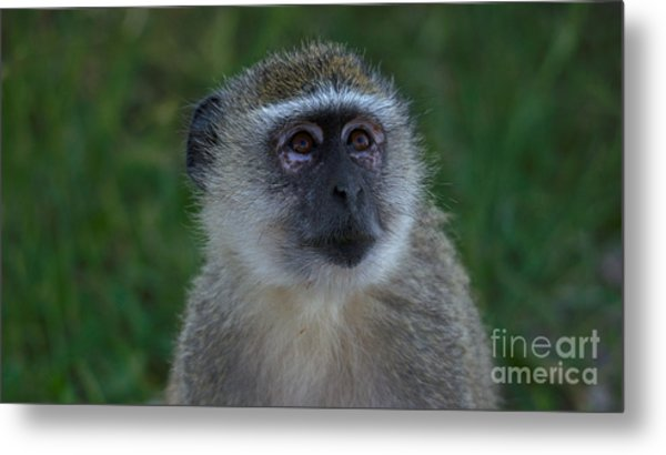 Vervet Monkey Looking Up Metal Print