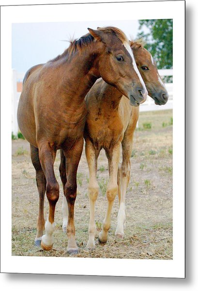Wary Young Horses Metal Print