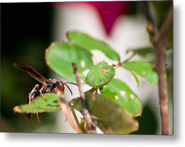 Wasp On Roses Metal Print by Jason Heckman