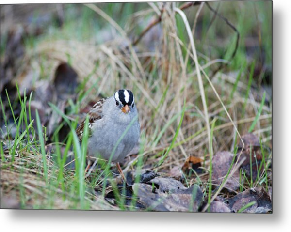Watchful White Crowned Sparrow Metal Print