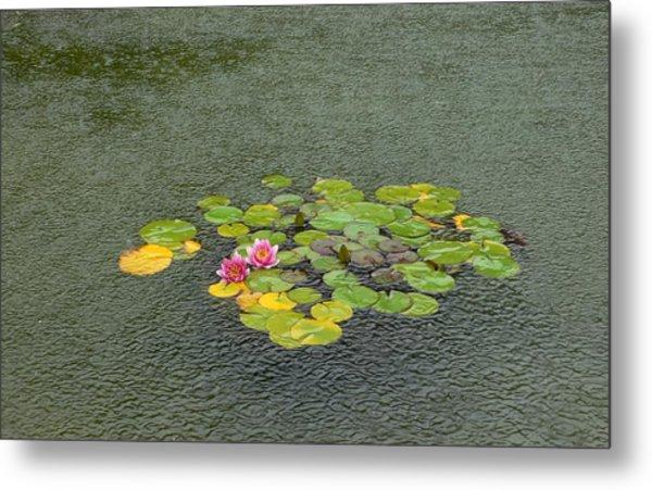 Water Lilly In Rain -2 Metal Print by Muhammad Hammad Khan