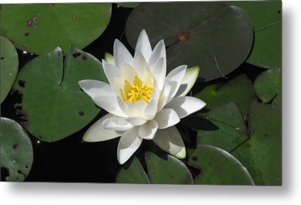 Water Lily Metal Print by Waldemar Okon