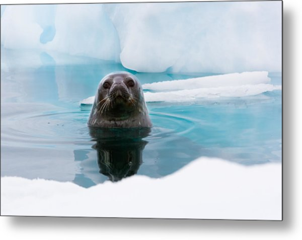 Weddell Seal Looking Up Out Of The Water, Antarctica Metal Print by Mint Images/ Art Wolfe