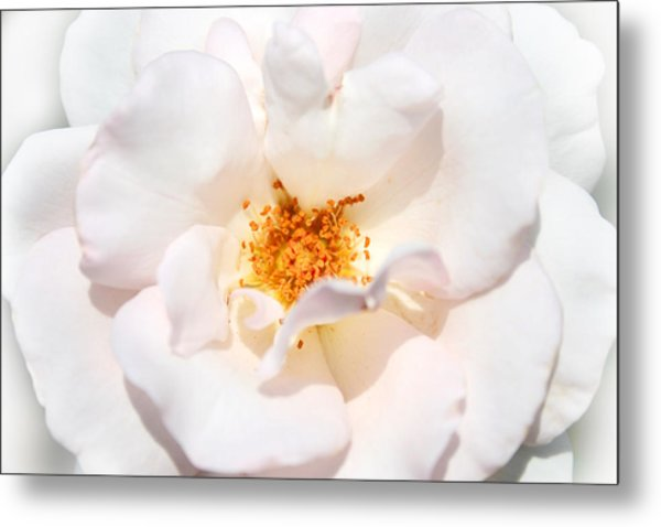 Wedding White Rose Metal Print