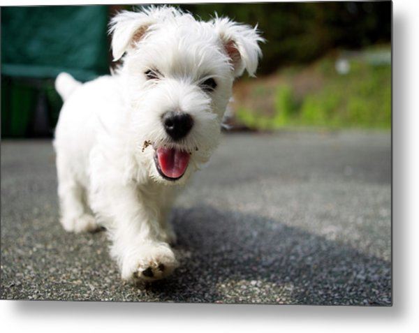 West Highland Terrier Female. Metal Print