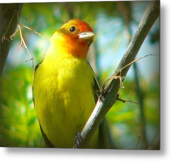 Western Tanager Metal Print by Carol Norman