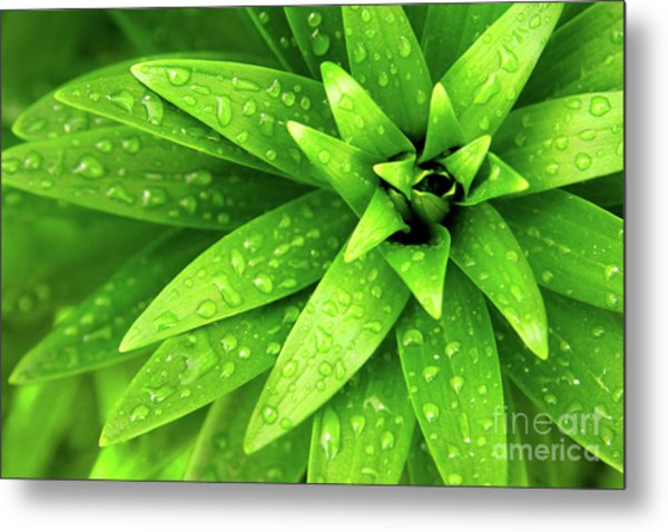 Wet Foliage Metal Print
