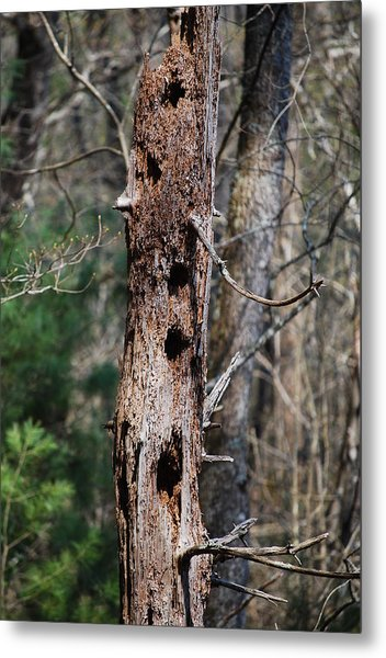 When Woodpeckers Attack Metal Print by Carrie Munoz