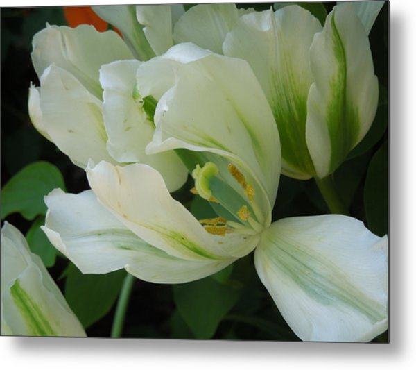 White And Green Tulip Metal Print