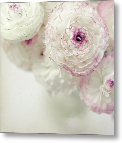 White And Pink Ruffled Ranunculus Flowers Metal Print by Cindy Prins