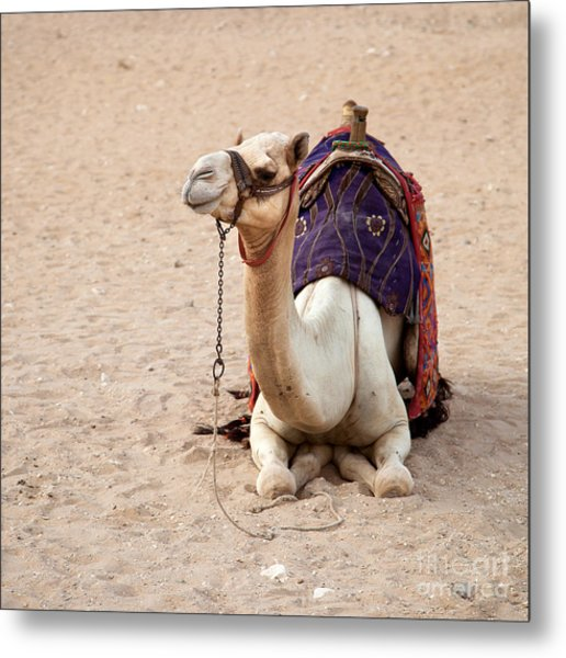 White Camel Metal Print