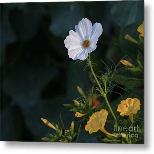 White Cosmos And Four O'clock Floral Metal Print by Marjorie Imbeau