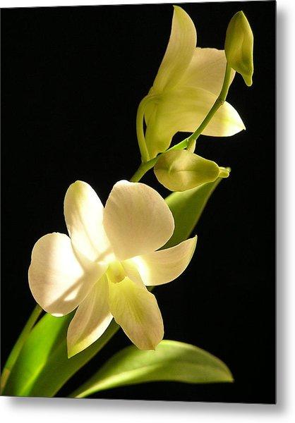 White Dendrobium Metal Print by Andrea Drake