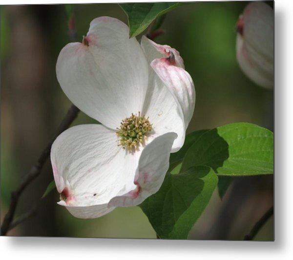 White Dogwood Tree Bloom Metal Print