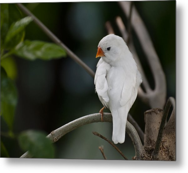 White Finch Metal Print