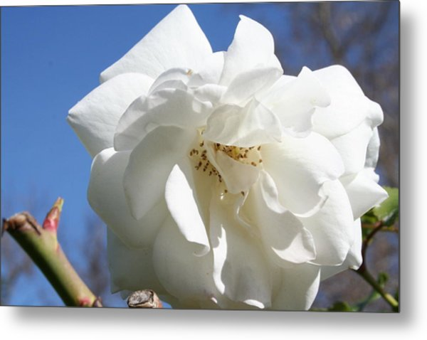 White Flower Metal Print by Eduardo Bouzas