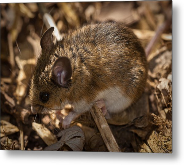 White-footed Mouse Metal Print