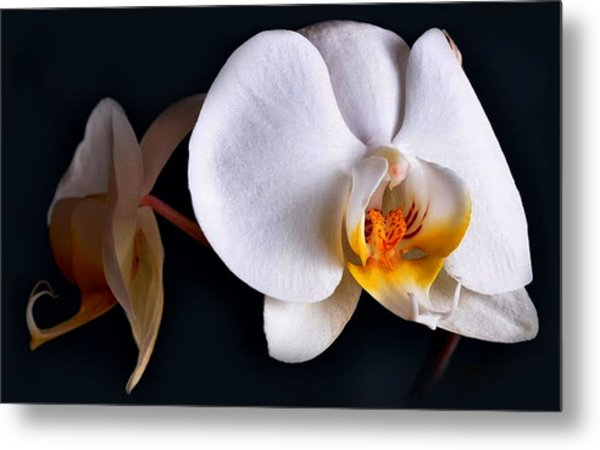 White Orchid Metal Print by Dorothy Walker