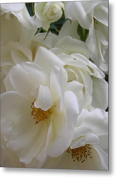 White Rose Medley Metal Print by Tina Ann Byers