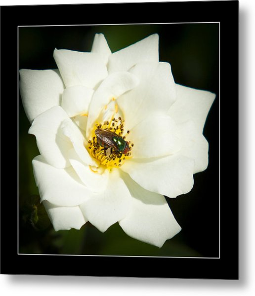 White Rose Metal Print by Miguel Capelo