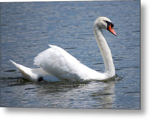 White Swan On A Lake Metal Print by Carrie Munoz