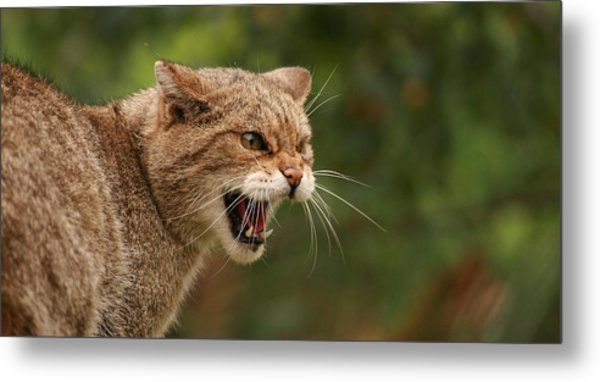 Wild Highland Cat Metal Print by Jacqui Collett