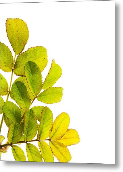 Wild Rose Leaves Macro Postcard Metal Print