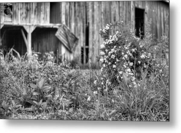 Wild Roses Bw Metal Print by JC Findley