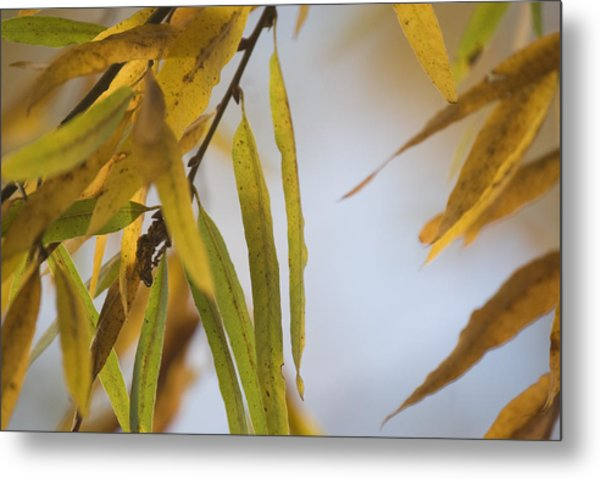 Willow Fall Leaves Metal Print