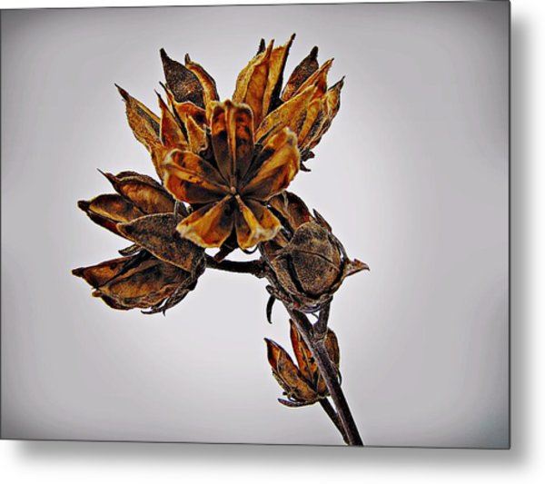 Winter Dormant Rose Of Sharon Metal Print
