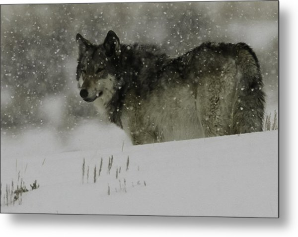 Winter Wolf #1 Metal Print by Kenneth McElroy