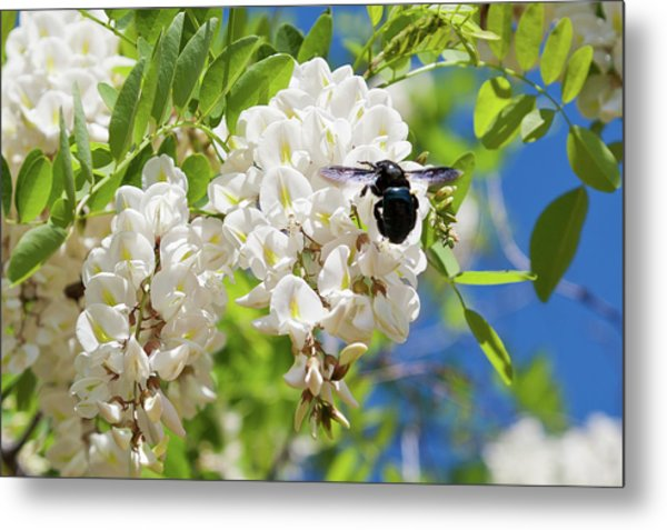 Wisteria With June Bug Metal Print