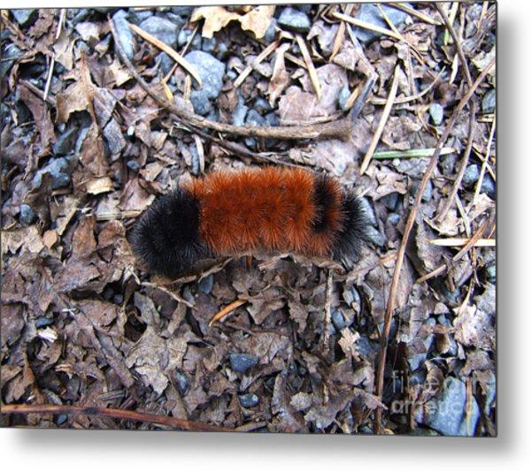 Wooly Bear Caterpillar Metal Print
