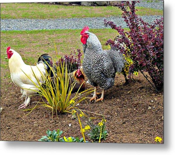 Yard Chickens Metal Print