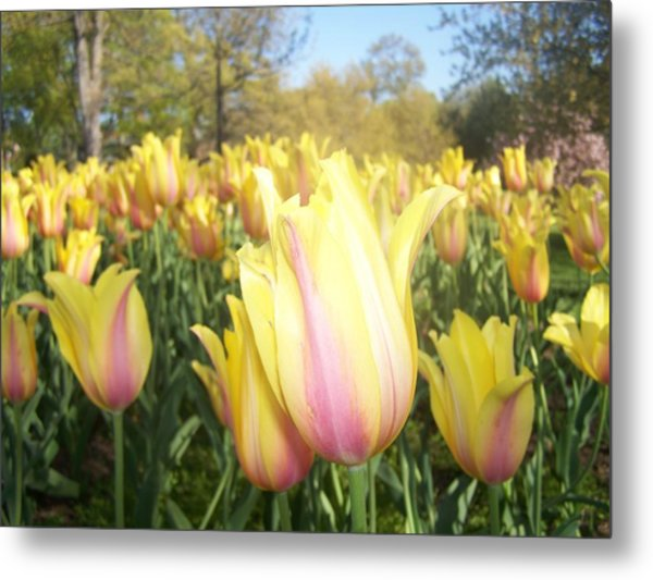 Yellow And Pink Tulips Metal Print