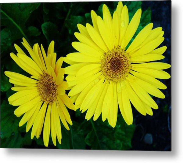 Yellow Gerbers Metal Print by Jeanette Oberholtzer
