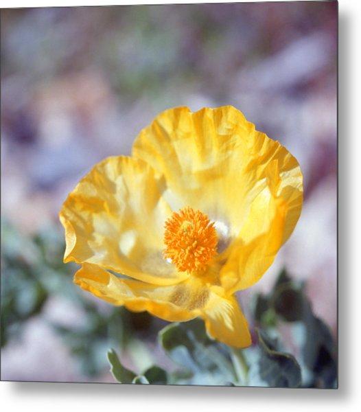 Yellow Horned Poppy  Metal Print