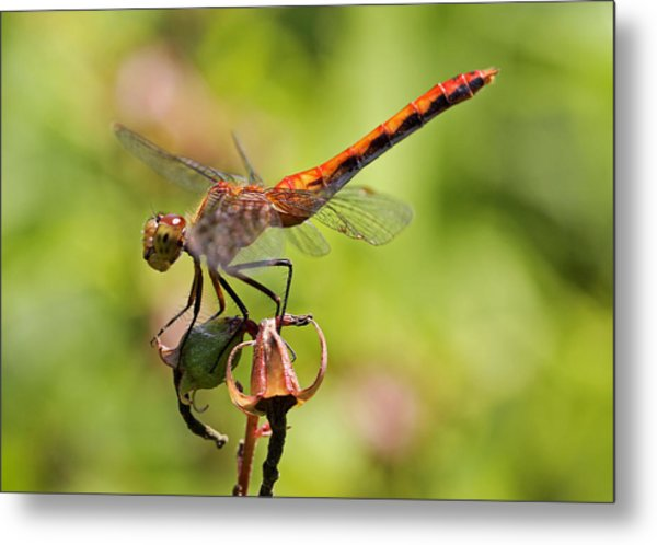 Yellow-legged Meadowhawk  Metal Print by Juergen Roth