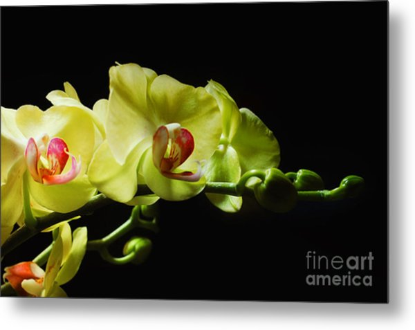 Yellow Orchids Metal Print by Elaine Manley