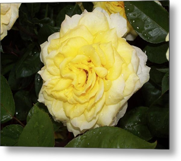 Metal Print featuring the photograph Yellow Rose by Ralph Jones