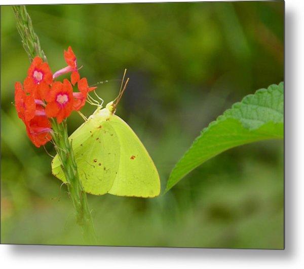 Yellow Sulfur Butterfly Metal Print by Judy Wanamaker