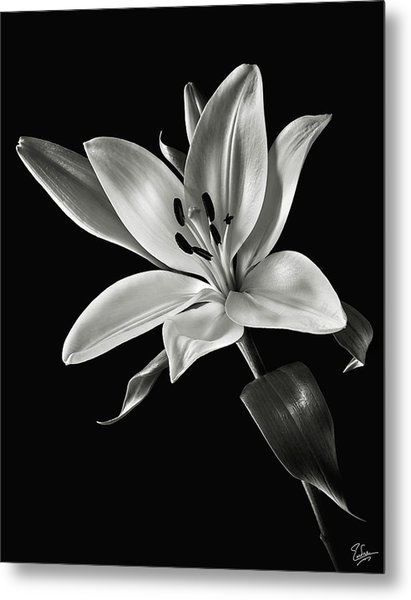 Yellow Tiger Lily In Black And White Metal Print