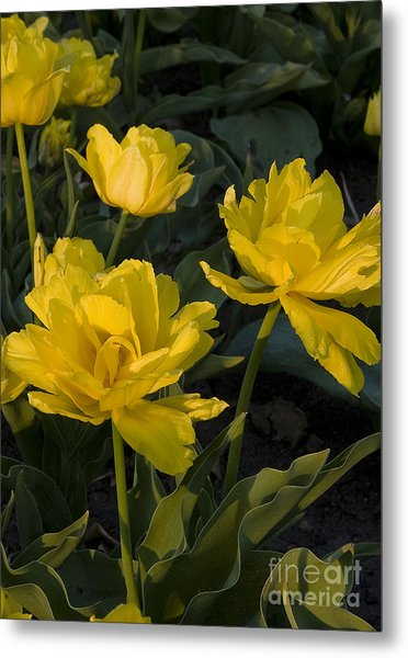 Yellow Tulips  Tulipes Jaune Metal Print by Nicole  Cloutier Photographie Evolution Photography