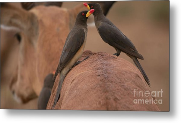 Yellowbilled Oxpeckers Metal Print