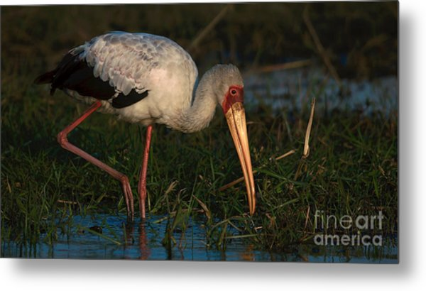 Yellowbilled Stork Metal Print