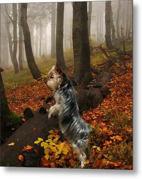Yorkie On The Hunt Metal Print