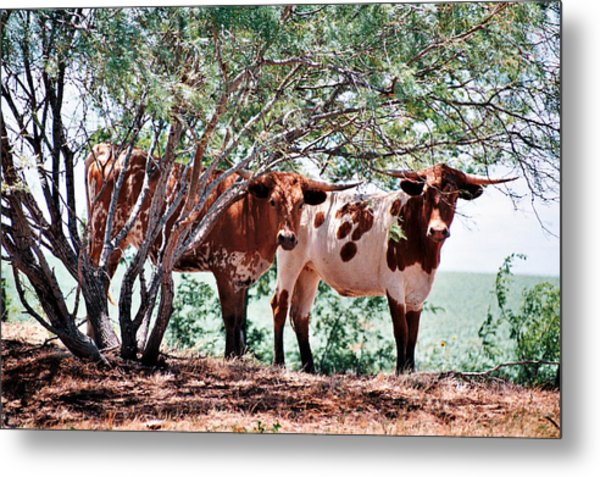 Young Bulls Metal Print by Paul Louis Mosley