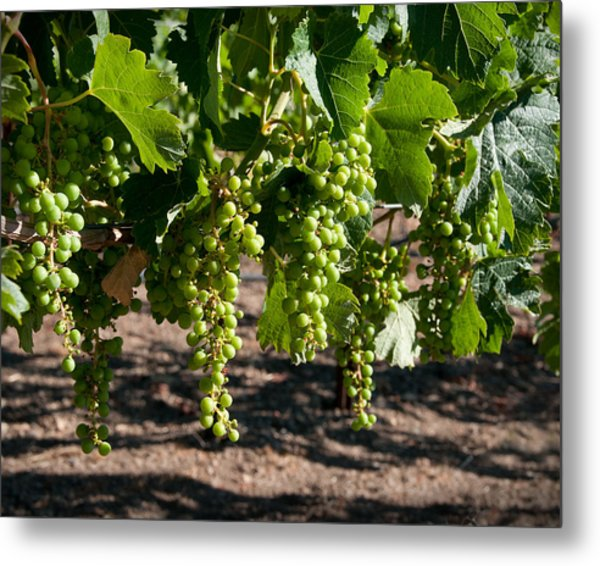 Young On The Vine Metal Print by Kent Sorensen
