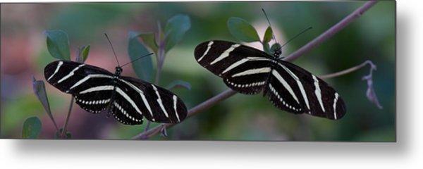 Zebra Butterflies Metal Print by C Thomas Willard